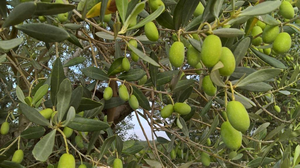 ¿Qué variedad son estos olivos? (Croacia) Wp_20129