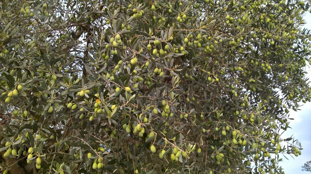 ¿Qué variedad son estos olivos? (Croacia) Wp_20130