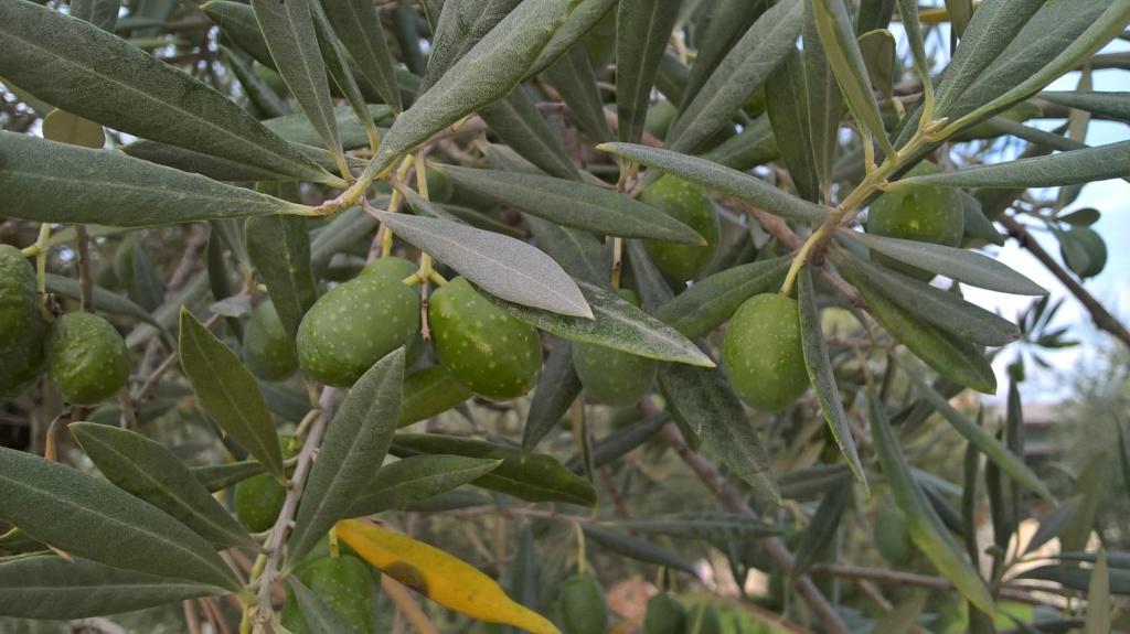 ¿Qué variedad son estos olivos? (Croacia) Wp_20132