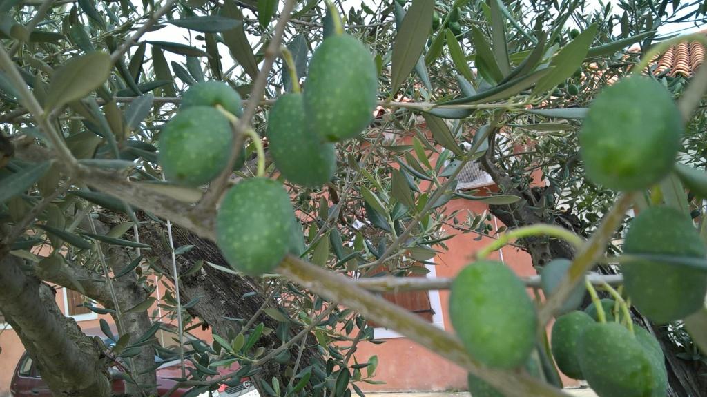 ¿Qué variedad son estos olivos? (Croacia) Wp_20135