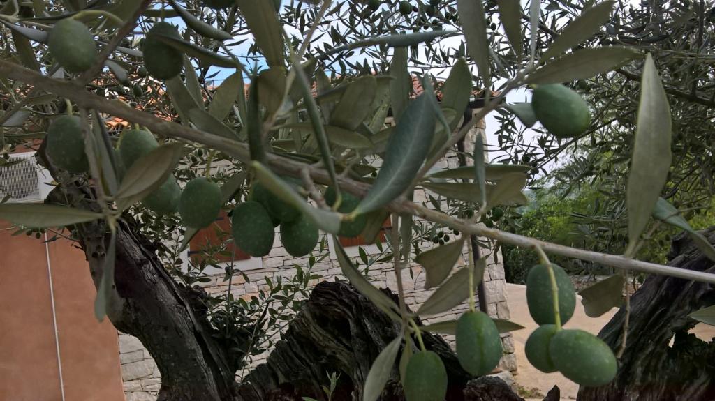 ¿Qué variedad son estos olivos? (Croacia) Wp_20137