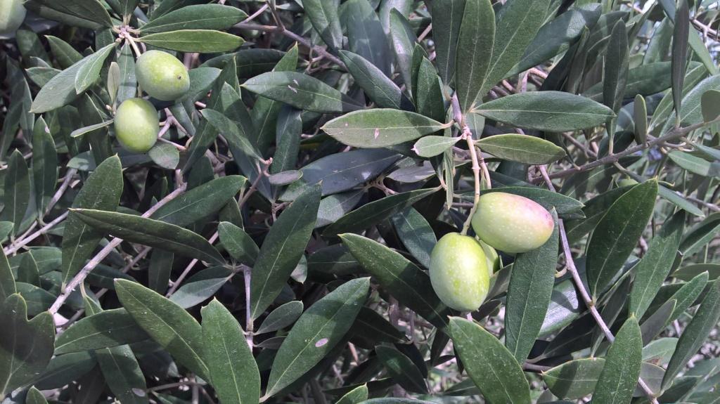 ¿Qué variedad son estos olivos? (Croacia) Wp_20140
