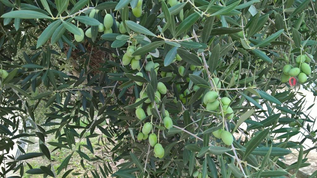 ¿Qué variedad son estos olivos? (Croacia) Wp_20143