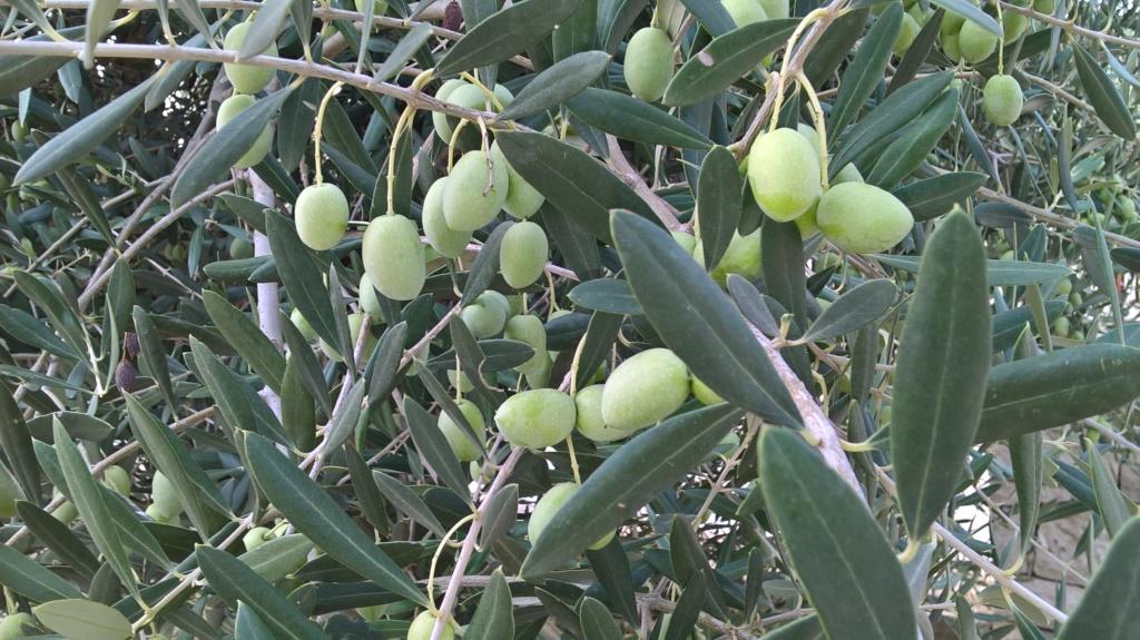 ¿Qué variedad son estos olivos? (Croacia) Wp_20144