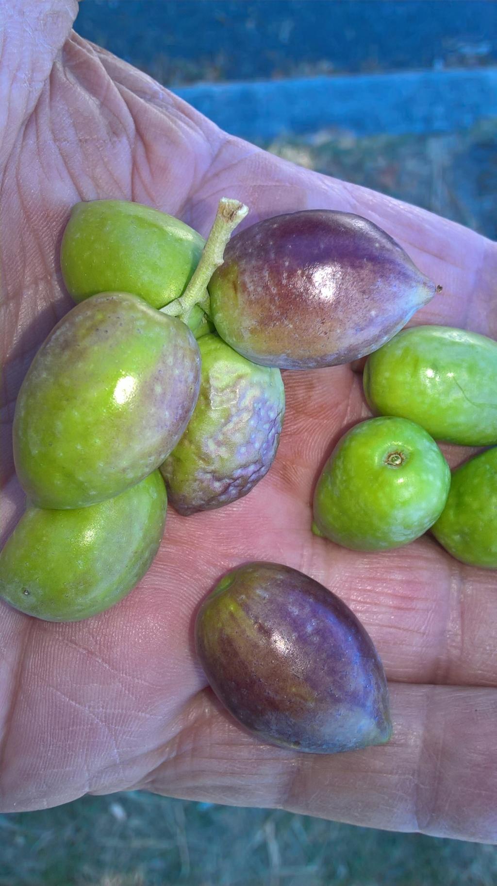¿Qué variedad son estos olivos? (Croacia) Wp_20151
