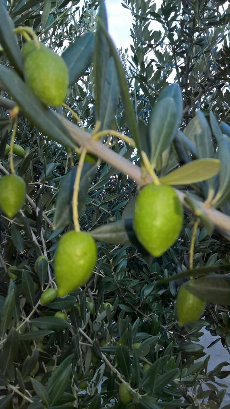 ¿Qué variedad son estos olivos? (Croacia) Wp_20152