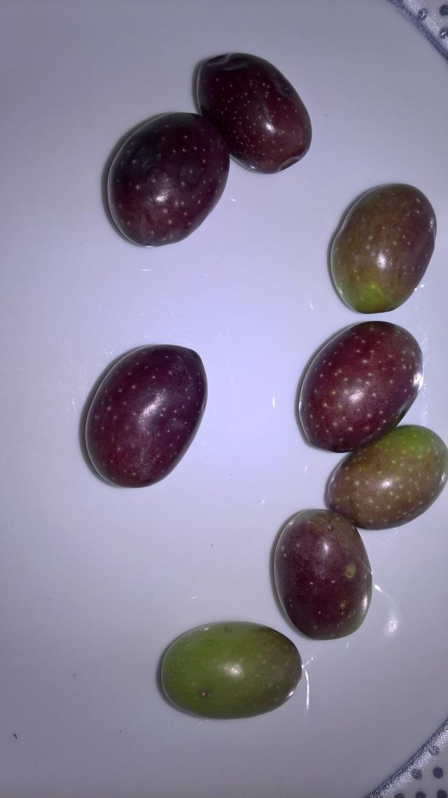 ¿Qué variedad son estos olivos? (Croacia) Wp_20153
