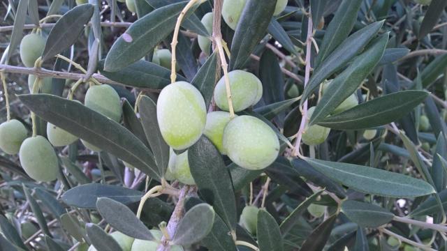 ¿Qué variedad son estos olivos? (Croacia) Wp_20156