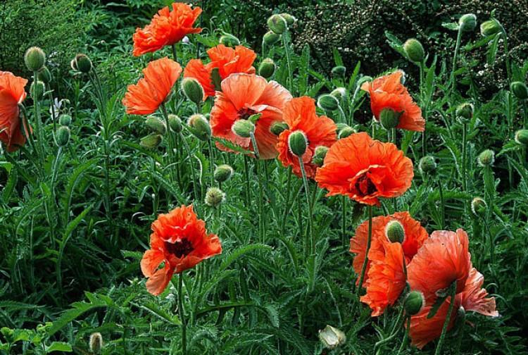 Tiges fleurs de pavots qui tombent 01962010
