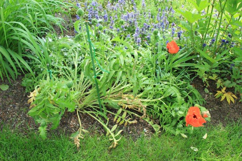 Tiges fleurs de pavots qui tombent Img_0411
