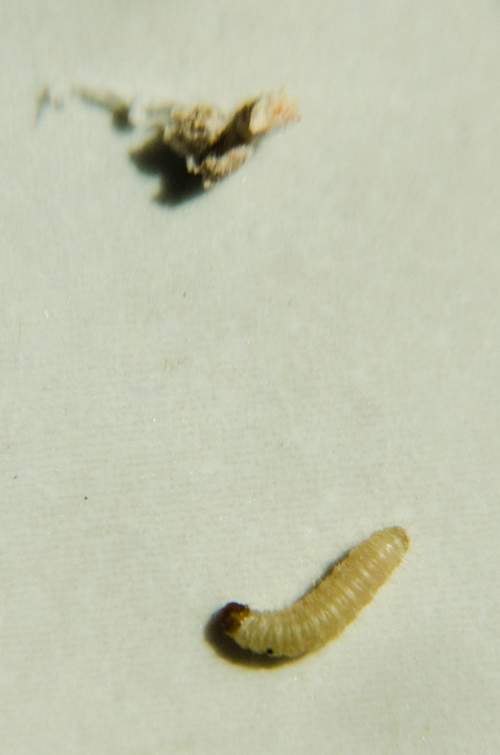 Identification de larve Larves12