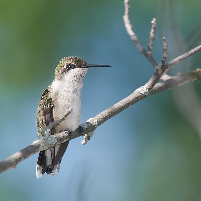 Colibri à gorge rubis  (femelle) _d754412