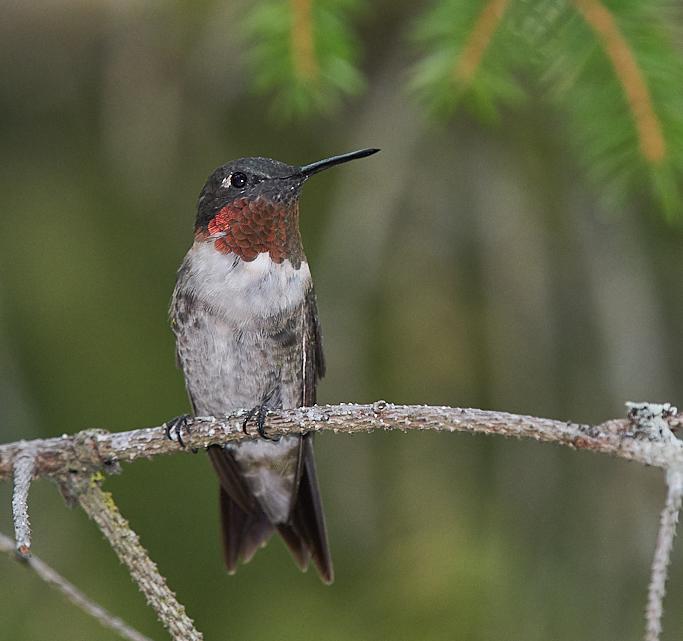 Colibri à gorge rubis  Ruby (male)  _d754510