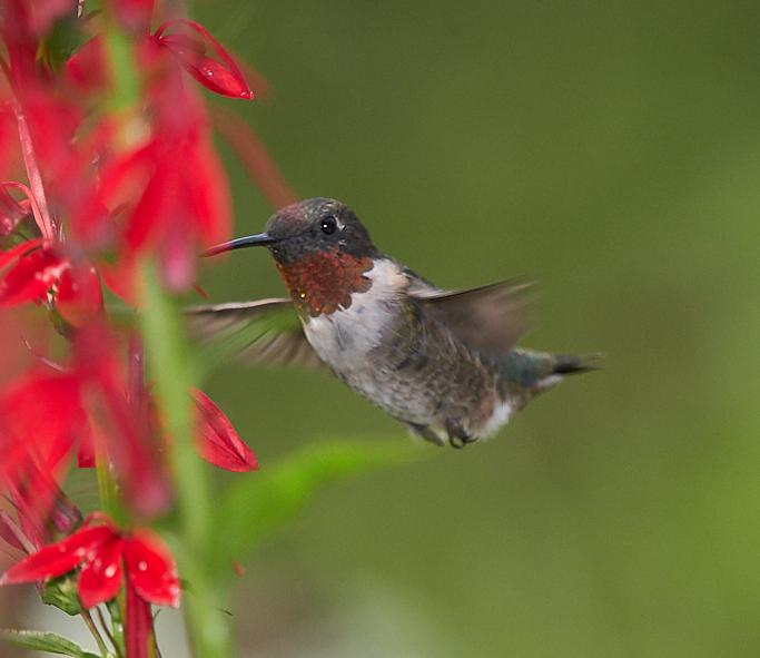 Colibri à gorge rubis  Ruby (male)  _d754511