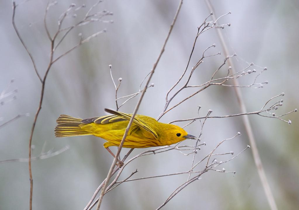 Paruline jaune mâle Lunch_10
