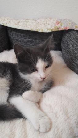 Osani, femelle gris et blanc née le 29/06/2018 20180816