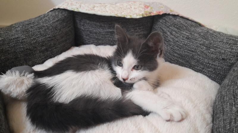 Osani, femelle gris et blanc née le 29/06/2018 20180817