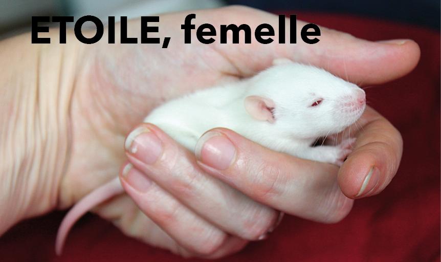 Portée de rats beiges et bleus à adopter à p. 21/12/18. 4 M ; 5F vidéo Etoile10