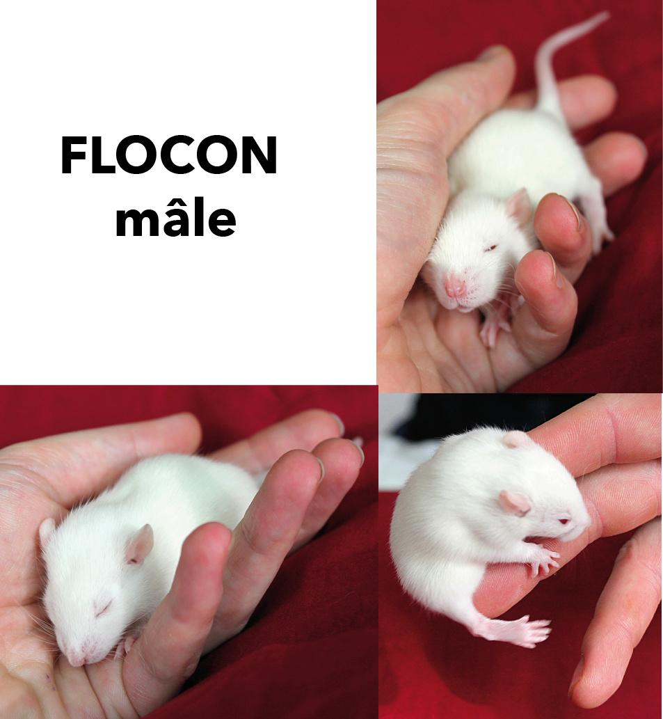 Portée de rats beiges et bleus à adopter à p. 21/12/18. 4 M ; 5F vidéo Flocon10