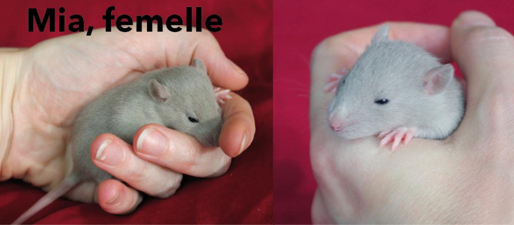 Portée de rats beiges et bleus à adopter à p. 21/12/18. 4 M ; 5F vidéo Mia_1611