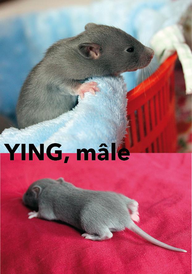 Portée de rats beiges et bleus à adopter à p. 21/12/18. 4 M ; 5F vidéo Ying_110
