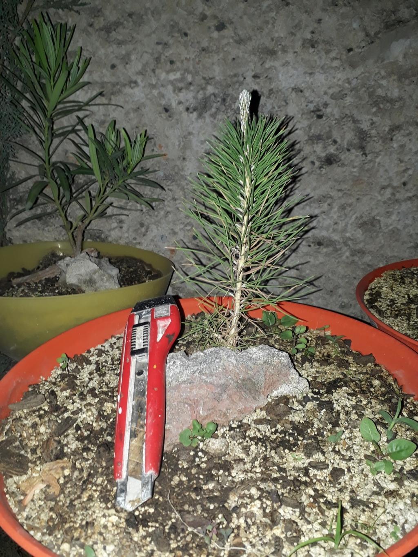 Los pre-bonsai 01-pla11
