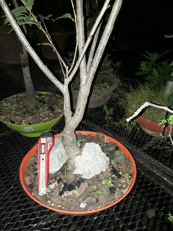 Los pre-bonsai 11-cer10