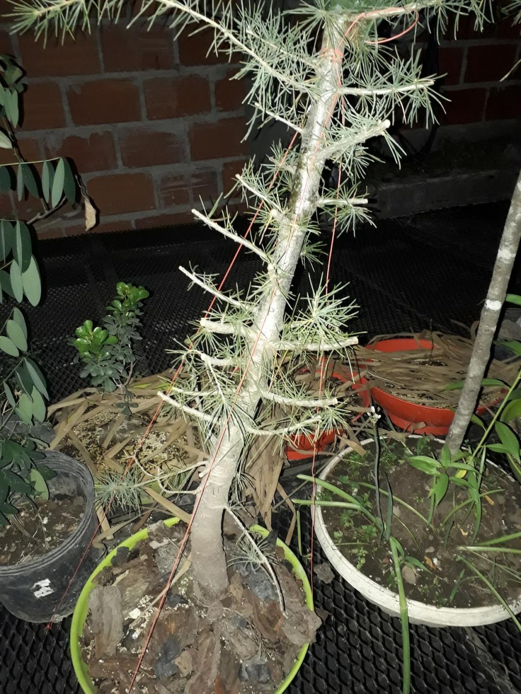 Los pre-bonsai 12-ced11