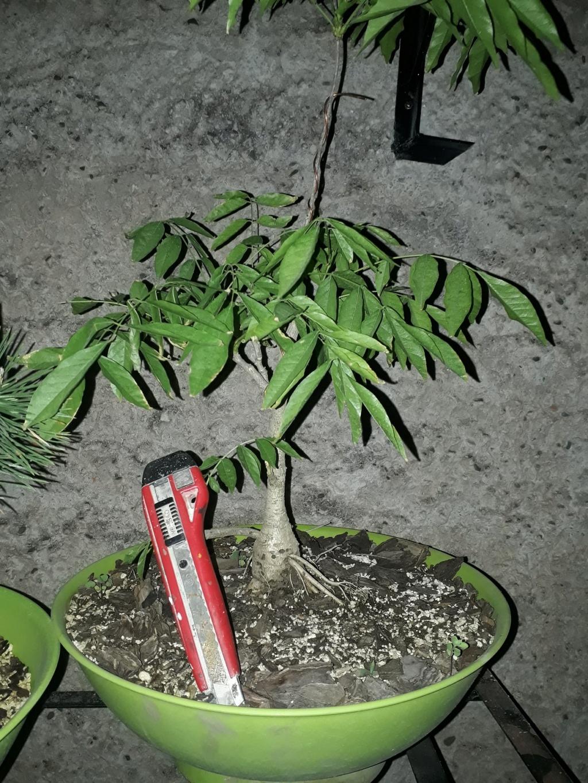 Los pre-bonsai 20-gli10