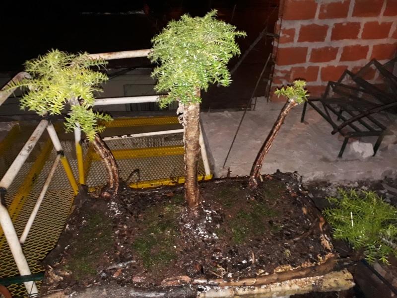 Bosque de araucarias 20190711