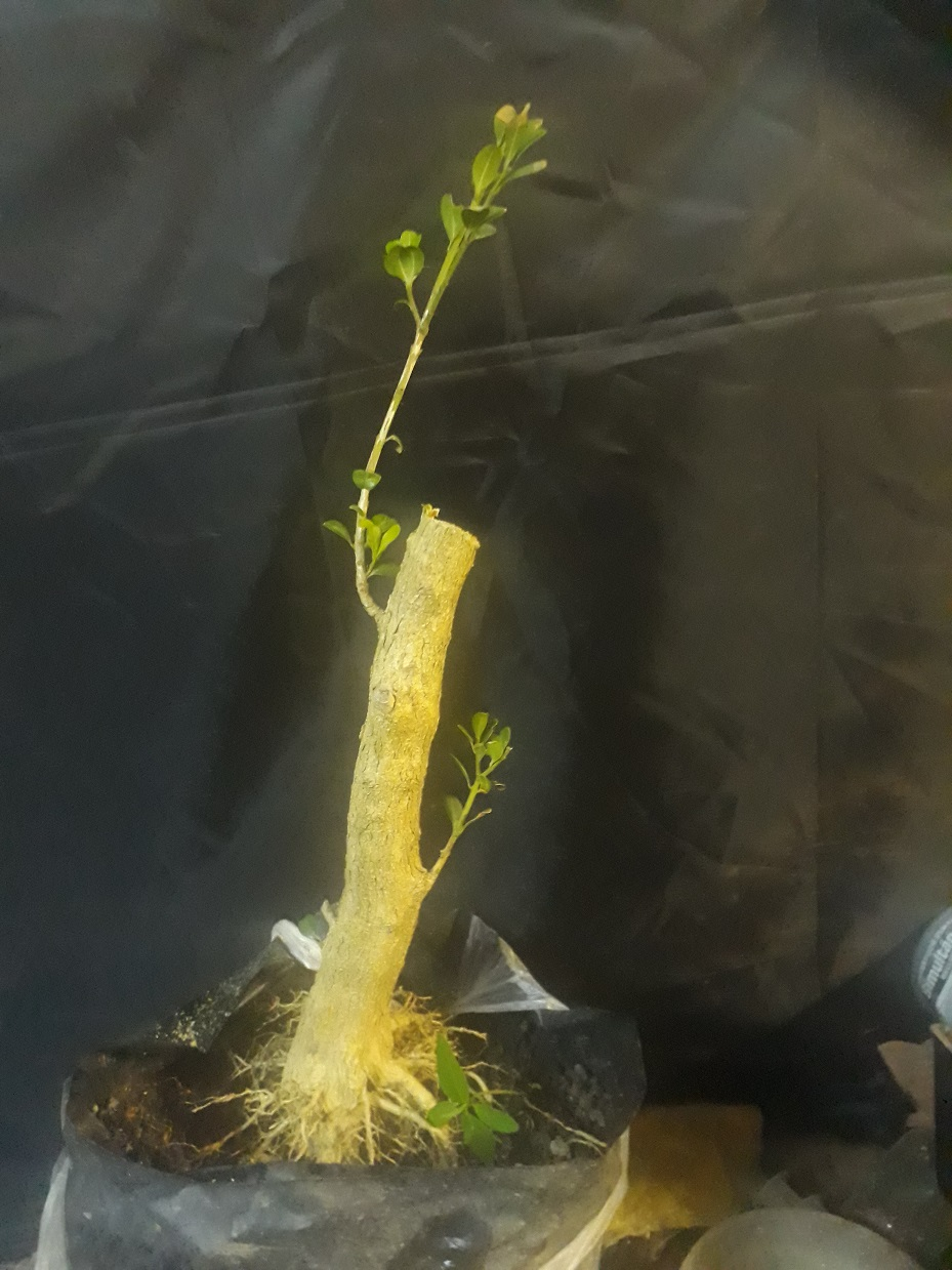Buxus desde arbolito vivero 20200414