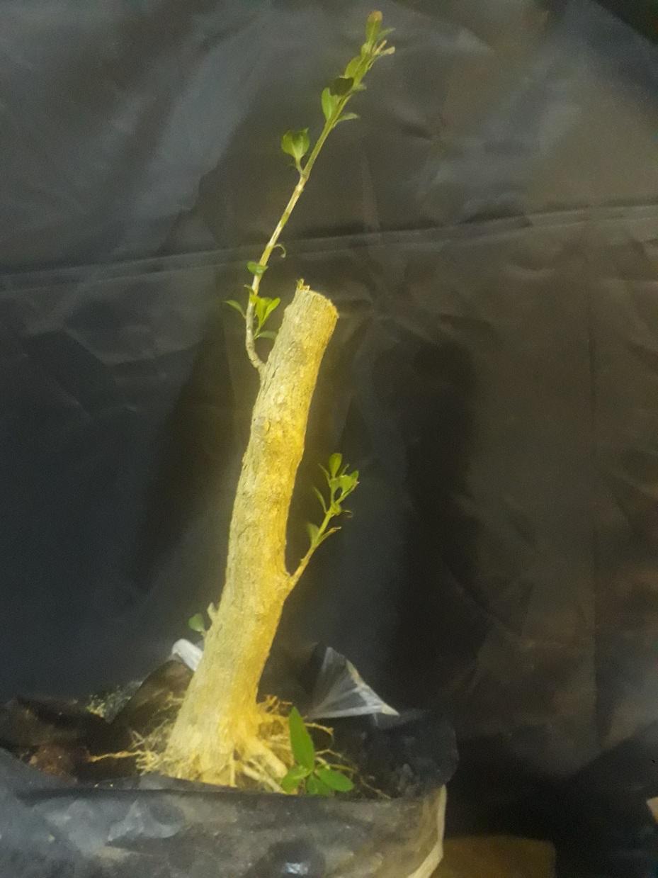 Buxus desde arbolito vivero 20200415