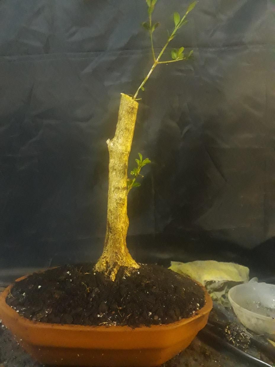Buxus desde arbolito vivero 20200418