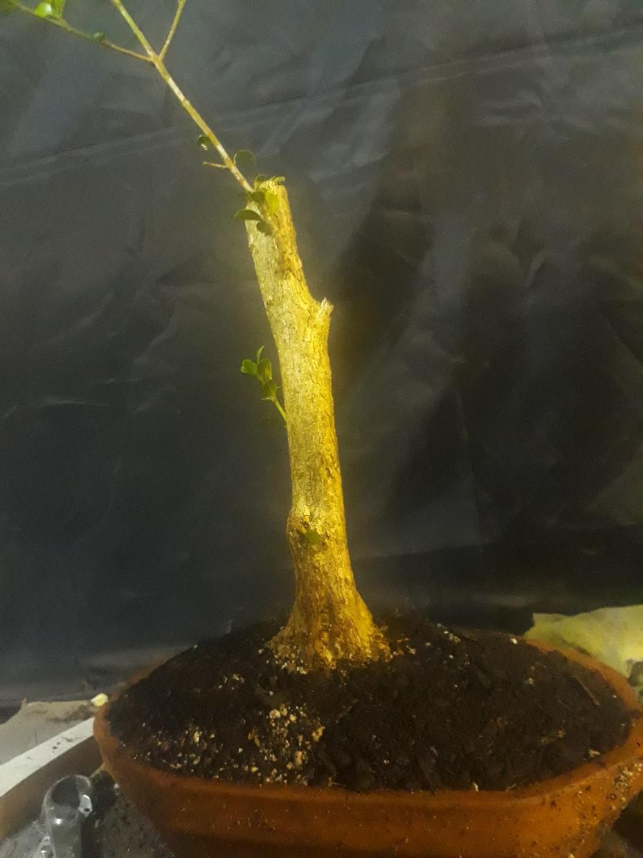 Buxus desde arbolito vivero 20200420
