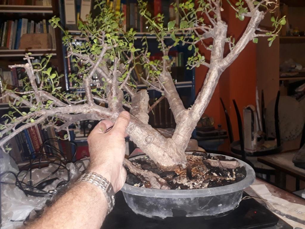 Mi bonsai!! portulacaria afra de 8 años 20200523
