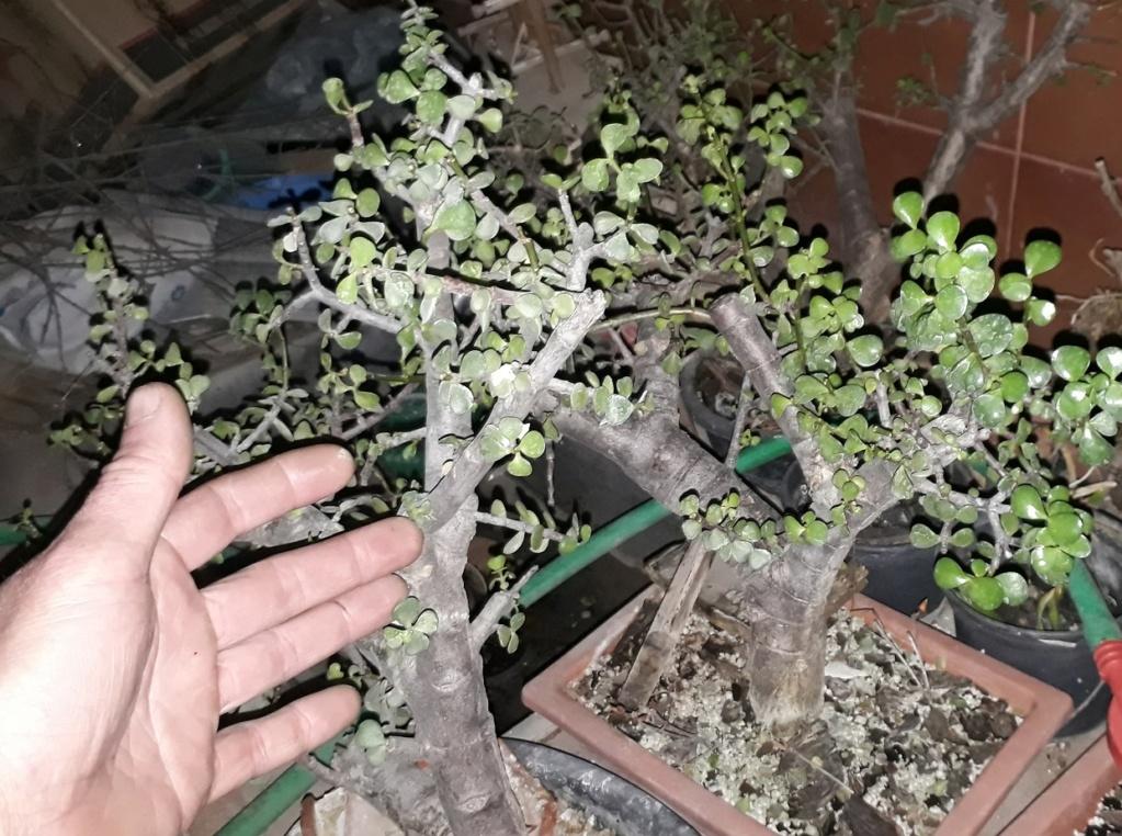Portulacaria Afra y hojas grandes 20200810