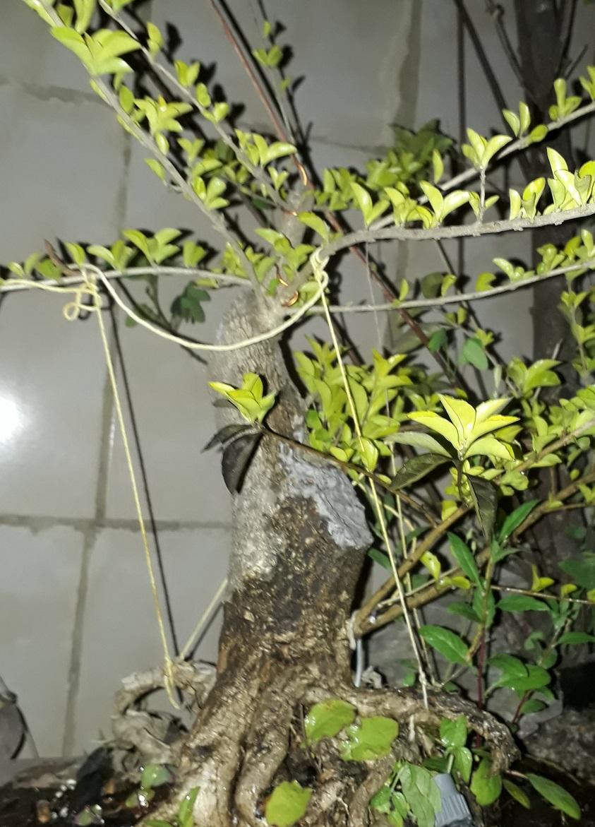 Los pre-bonsai 23-cot10