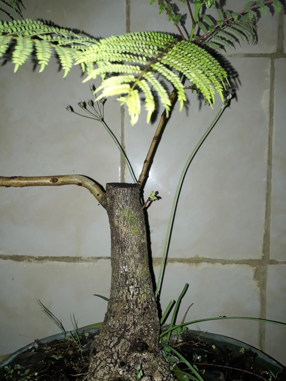 Los pre-bonsai 26-jac10
