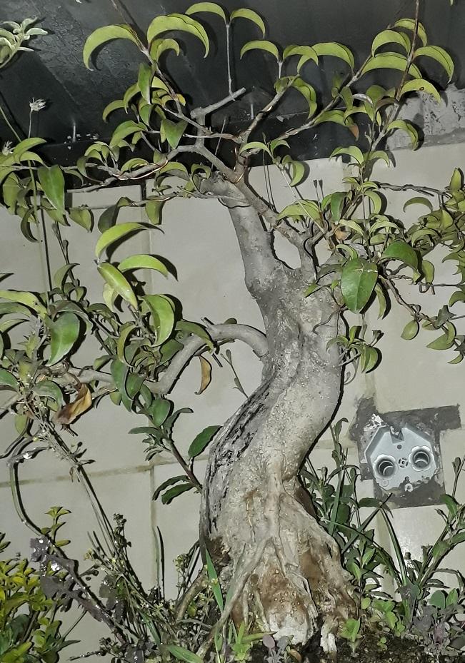 Los pre-bonsai 28-lig11