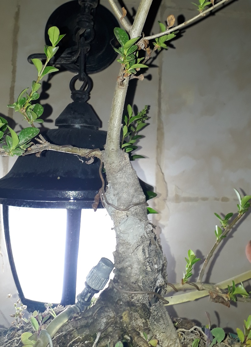 Los pre-bonsai 30-lig10