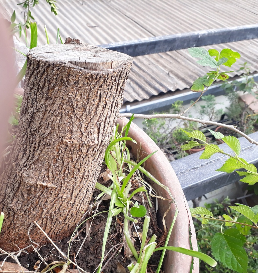 Los pre-bonsai 33-mor10