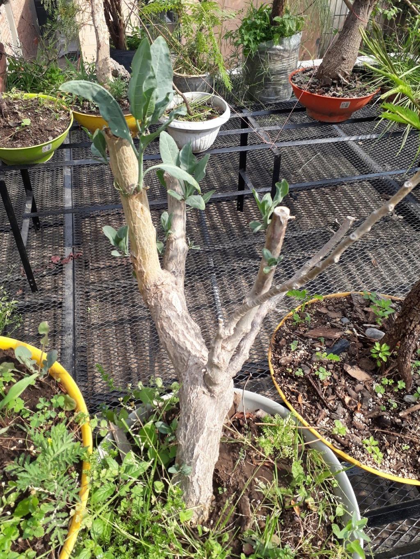 Los pre-bonsai 39-yam11