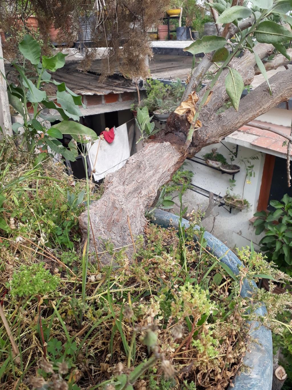 Los pre-bonsai 43-yam10