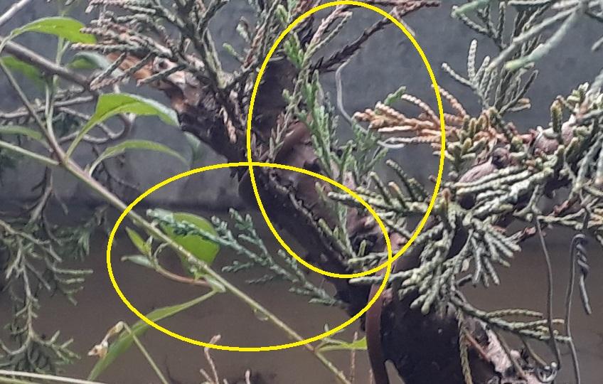 Los pre-bonsai 50-bro10