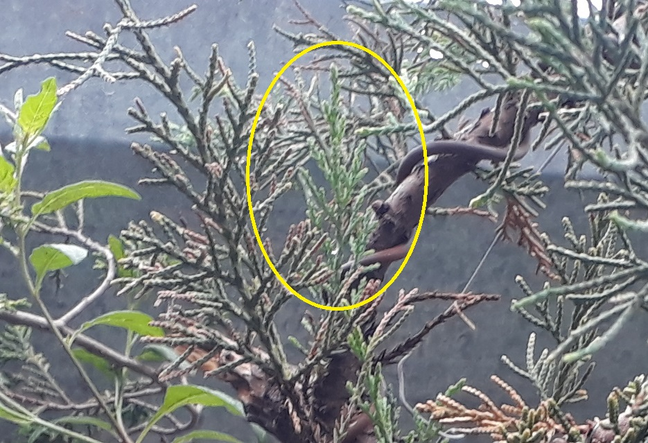 Los pre-bonsai 50-bro11