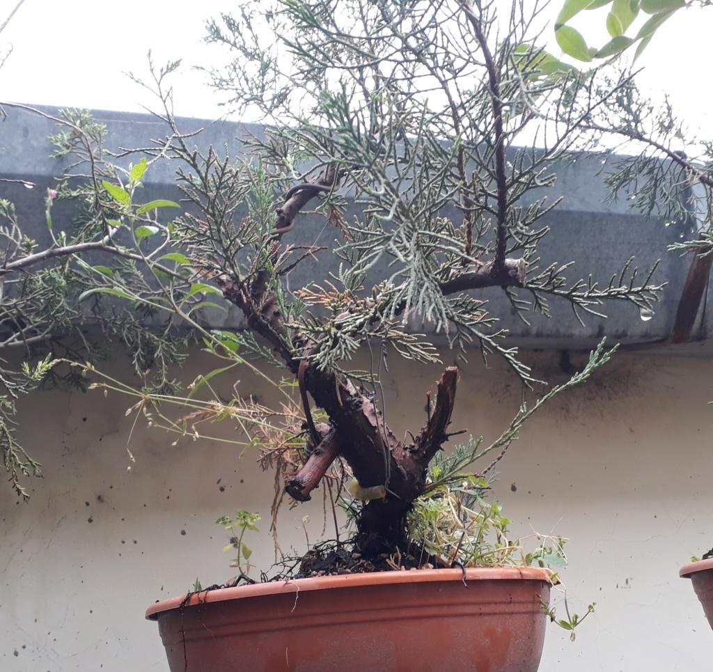 Los pre-bonsai 50-jun10