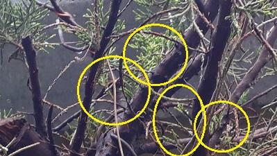 Los pre-bonsai 51-bro10