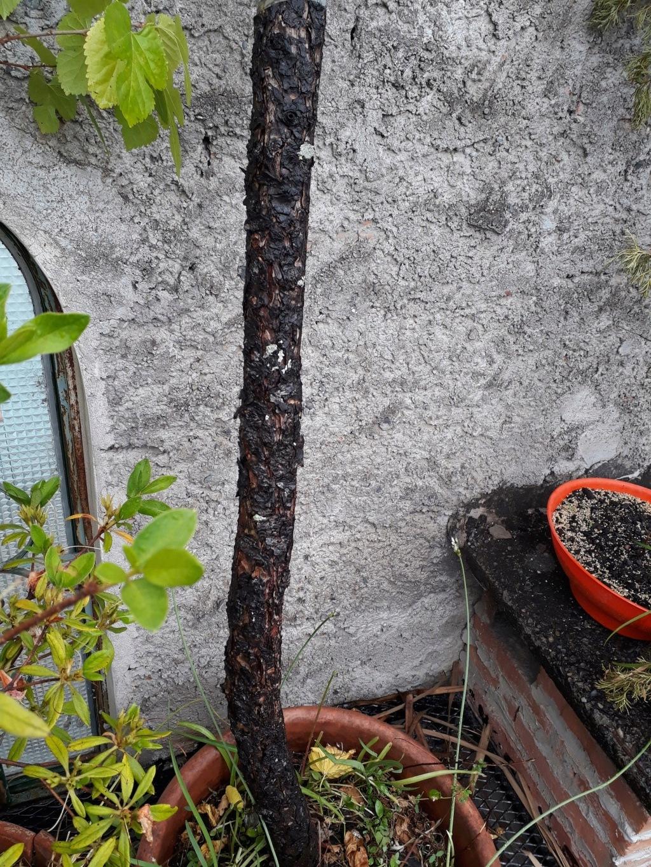 Los pre-bonsai 54-ced10