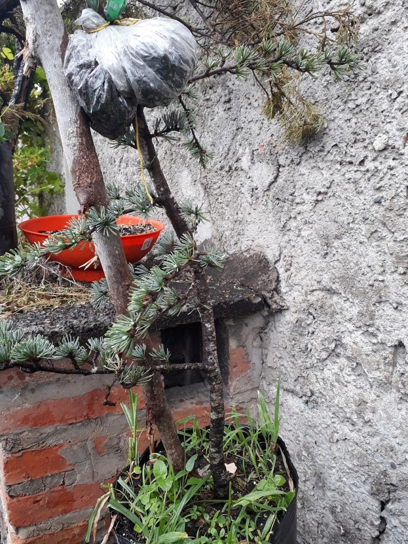 Los pre-bonsai 55-ced10