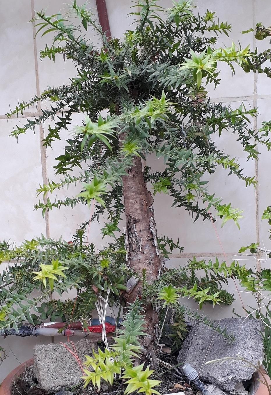 Los pre-bonsai 60-ara10